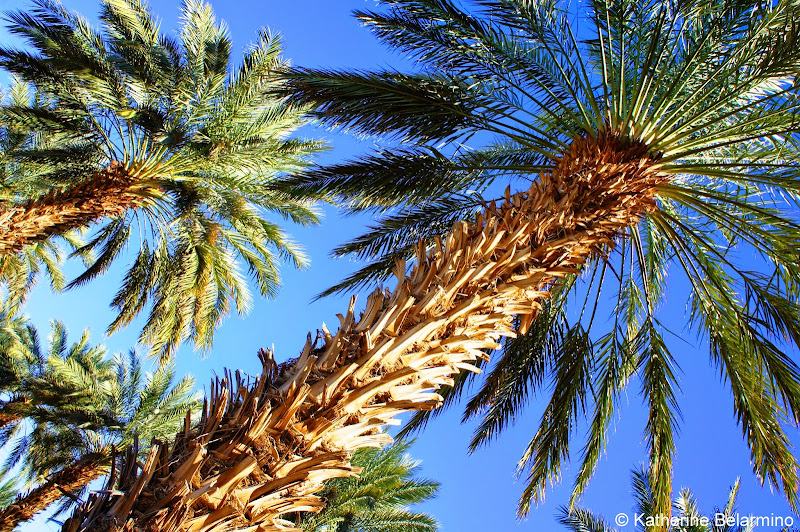 25 Year Old Medjool Date Palms at Martha's Gardens Date Farm Yuma Arizona