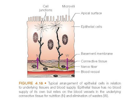 Typical arrangement of epithelial cells in relation to underlying tissues and blood supply. Epithelial tissue has no blood supply of its own but relies on the blood vessels in the underlying connective tissue for nutrition (N) and elimination of wastes (W).