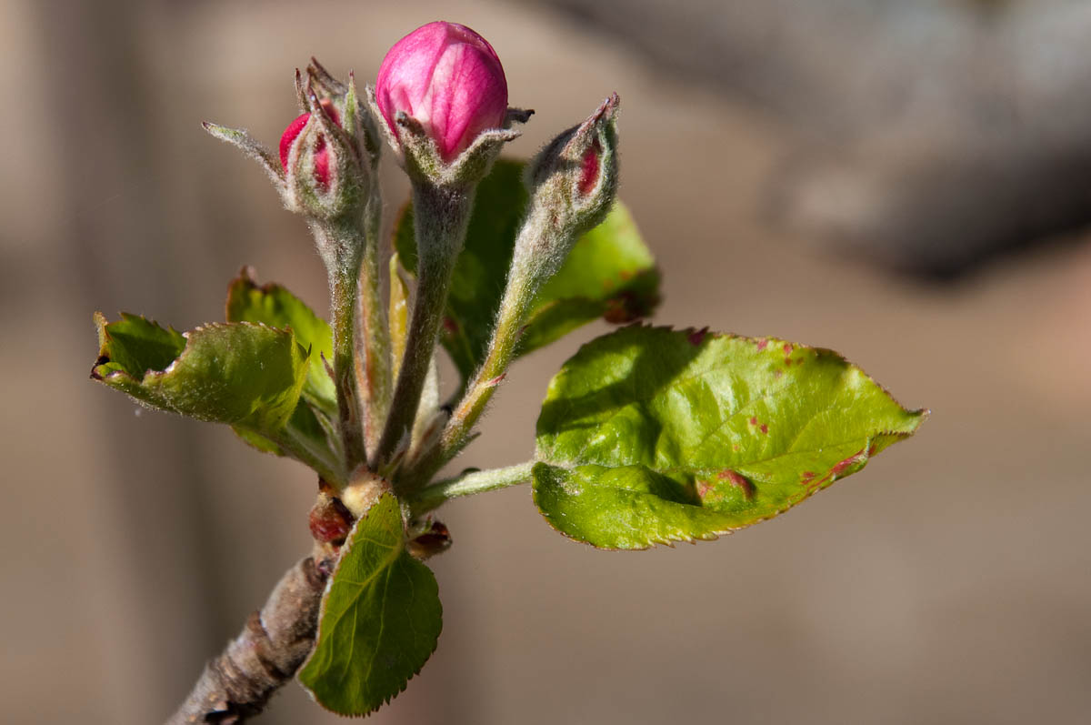 Apple tree blossom, My mother's garden, Varna, Bulgaria