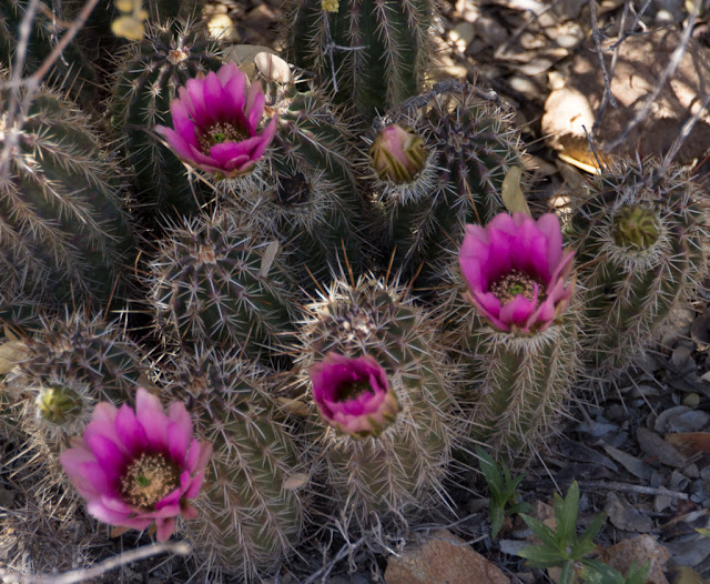 Life in a canned ham: Flowers found at the Arizona Sonora ...