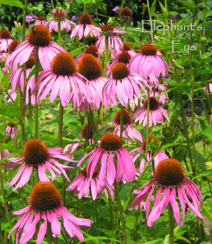 Echinacea in apothecary's garden at Ballenberg