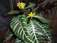 Zebra Plant or Aphelandra