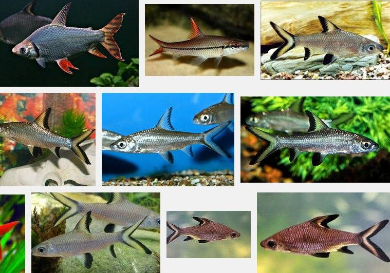 Jenis ikan hias air tawar Ikan Bala Shark