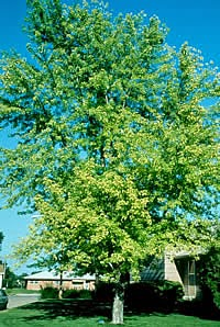 Chlorosis in Tree