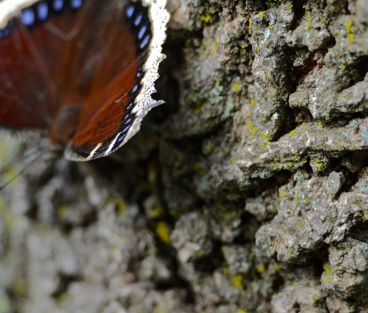 Hot, dry summer weather triggers aestivation (a type of hibernation called summer sleep) in Mourning Cloak butterflies.