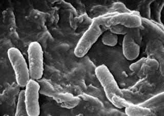 Bakteri P. Acne