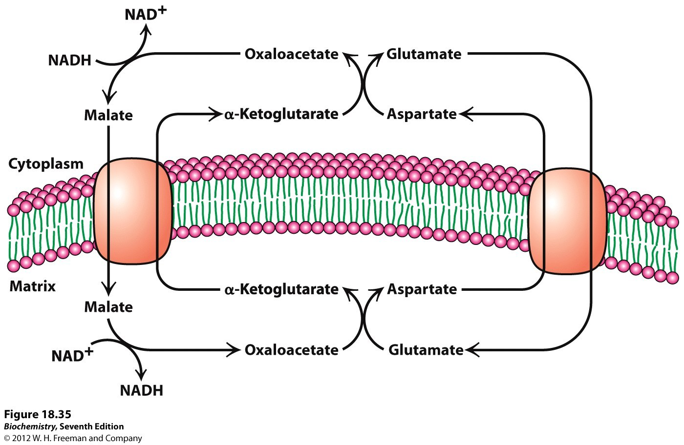 malate aspartate shuttle - Images for malate aspartate shuttle