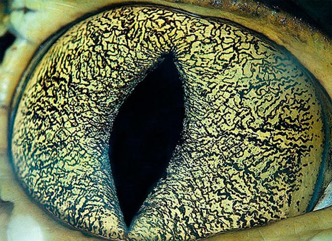 Olho de Caiman