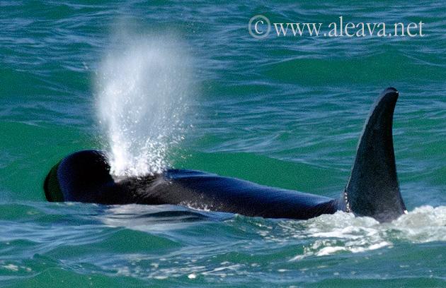 Respiración de la Orca
