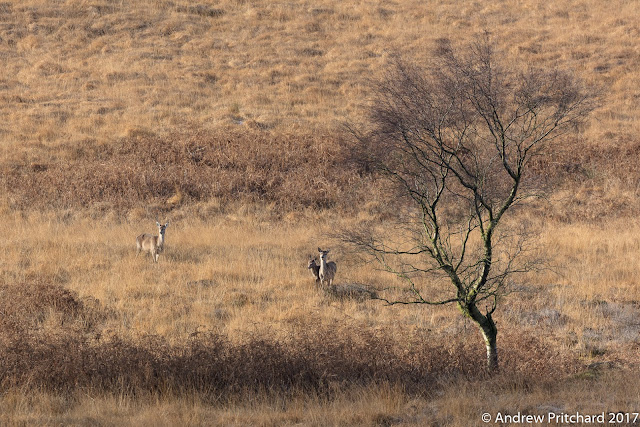 A small group of deer stare up to the higher moorland, looking for a way past the human's footpath, which is already busy with activity.