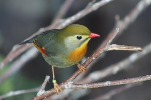 Toronto Zoo Birds. (Pekin Robin)