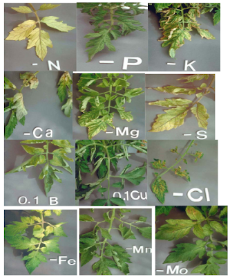Nutrient Deficiency symptoms in plants