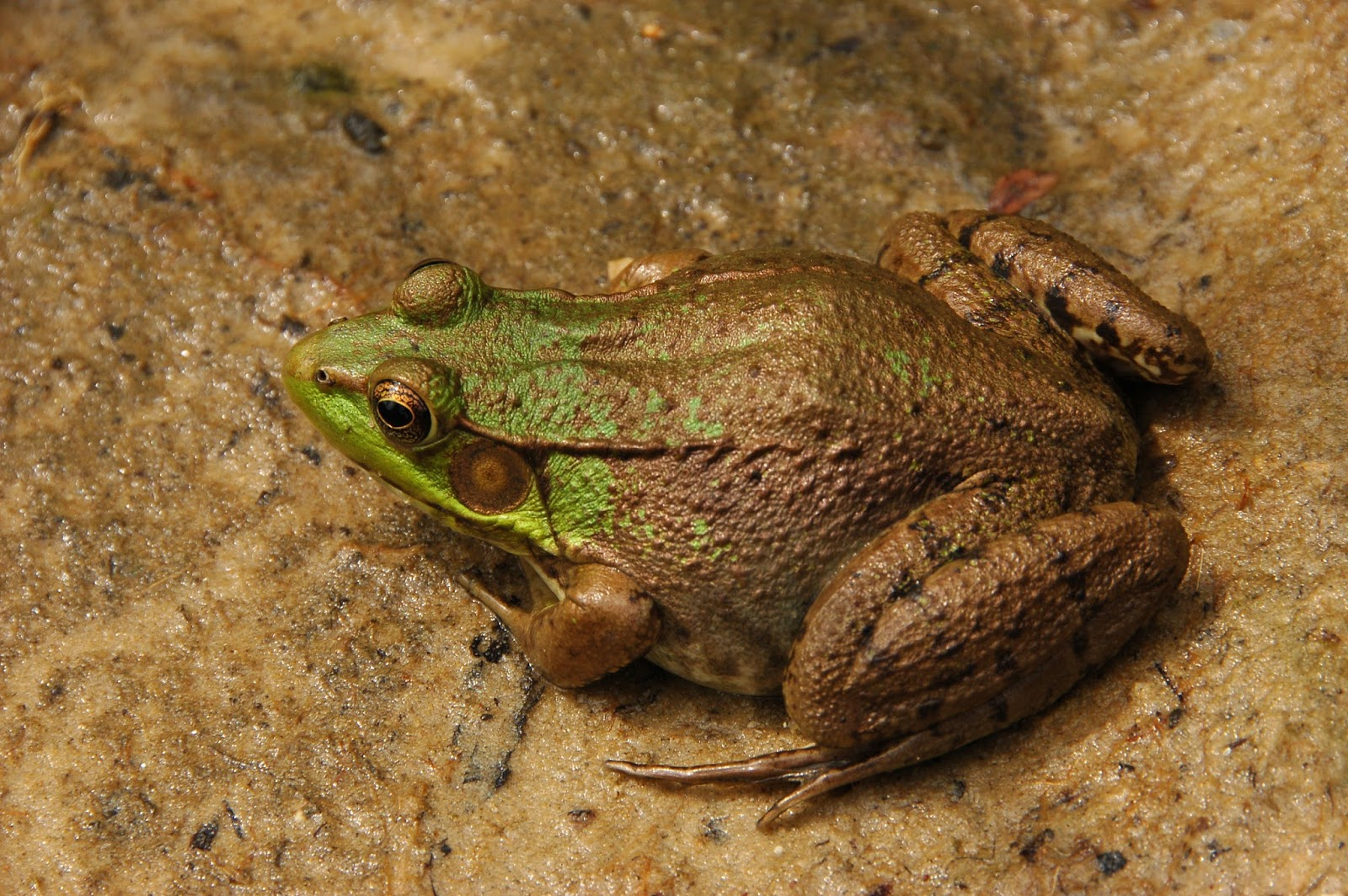 Amphibians: Green Frog Rana clamitans Facing Left
