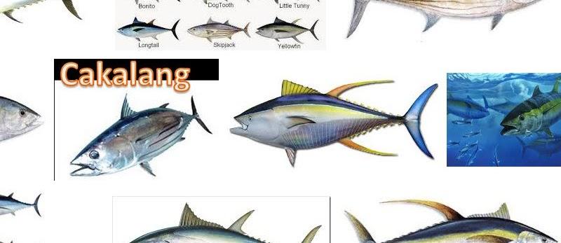 Jenis Ikan Tuna yang Populer di Dunia dan Gambarnya
