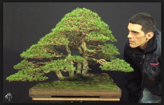 Bonsai pinus Image