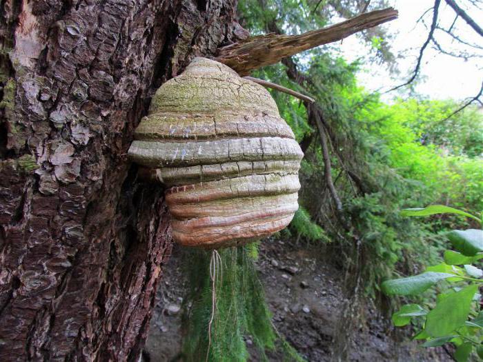 Мастера и умники Агарикус лиственничная губка