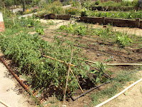 huerto escolar, tomates, acelgas