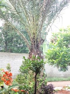 jual pohon kurma hias