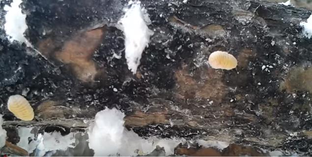 Ξεφώλιασμα εργάτη σε πεύκο: Αυτός δίνει το μέλι...