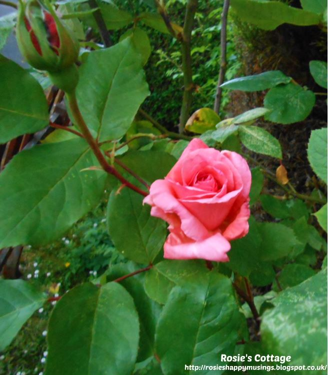 Being blessed by our garden: Far down inside the rose shrub, almost hidden away, I found this beautiful bloom...