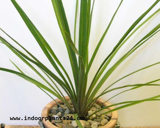 CORDYLINE AUSTRALIS indoor plant