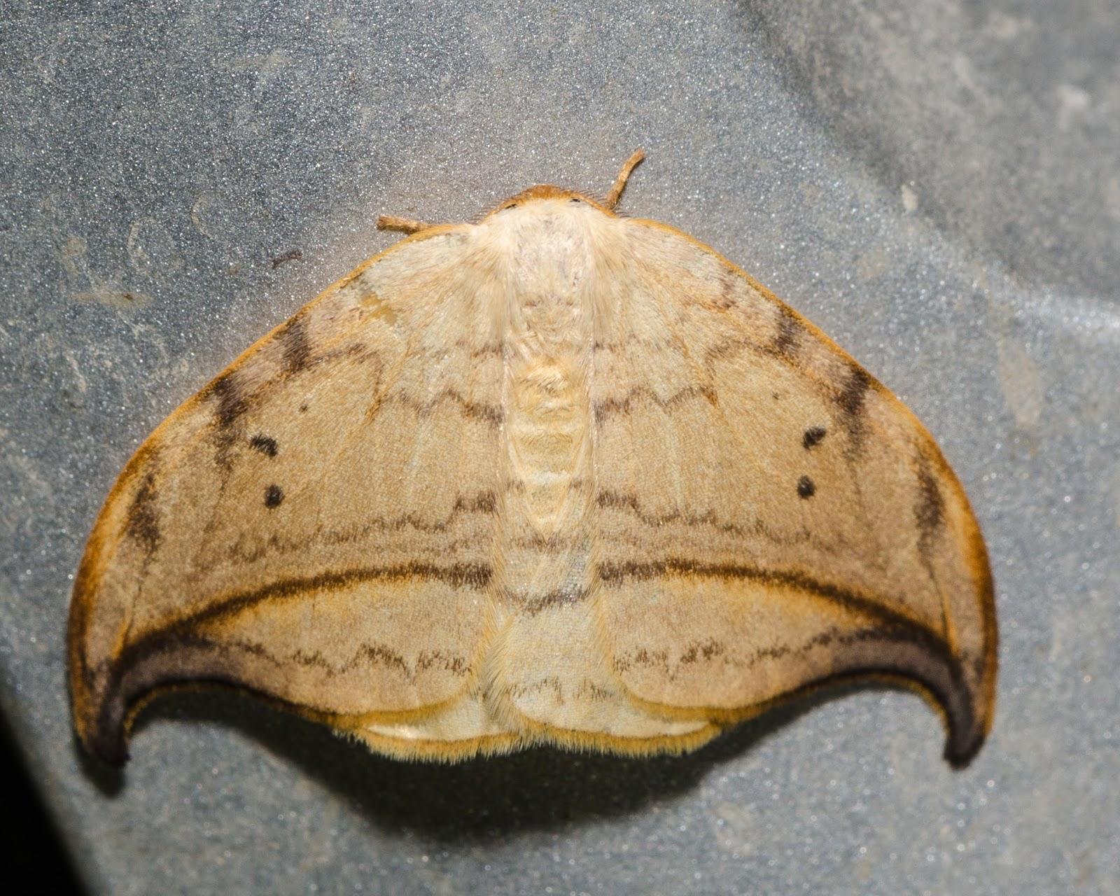 Arched Hooktip (Drepana arcuata)