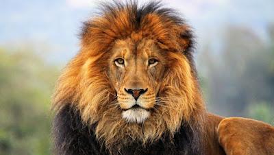 aslan, en tehlikeli hayvanlar
