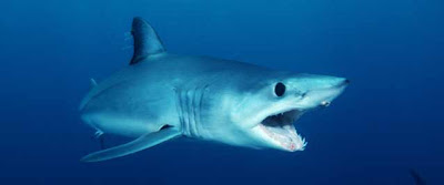 Tubarão Mako ou Tubarão Anequim  (Isurus oxyrinchus)