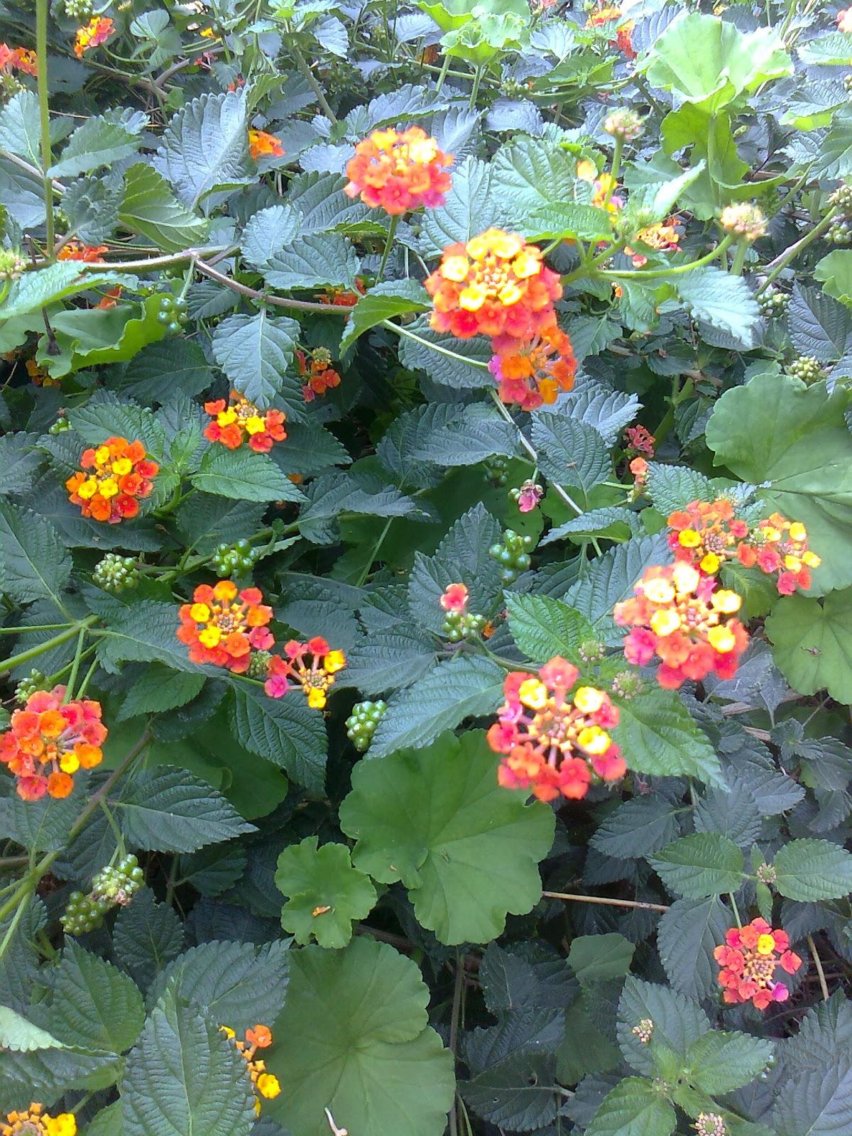 Lantana arbusto con flores - Arbustos de jardin ...