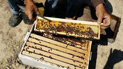 Ο Μεγάλος Αργύριος Κόσκος προτείνει στους Έλληνες μελισσοκόμους: Χρησιμοποιήστε ημιπάτωμα με μικροπλαίσια για να πάρετε μέλι