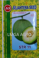 melon daging putih,melon f1 str 11,benih melon str 11,lmga agro,sejahtera seed