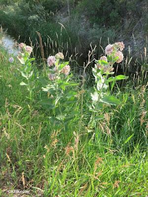 showy milkweed, Asclepias speciosa