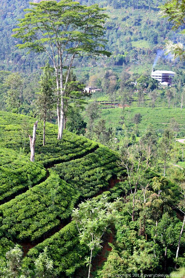 herbata cejlońska z herbacianych plantacji na Sri Lance
