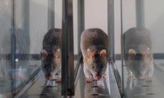 harga  Rp 20 Ribu per Ekor tikus