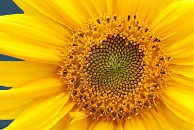 Nature Color Palette Yellow Sunflower