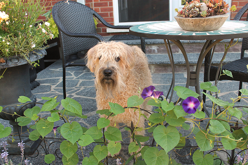Wheaten terrier and morning glories (Photo by Kathleen Maunder of trowelandpaintbrush.com)