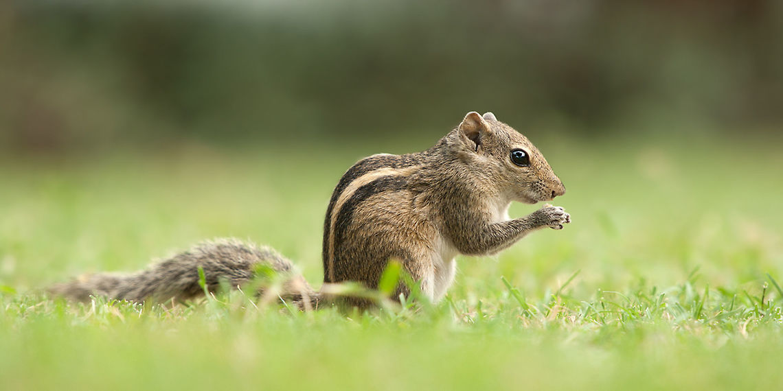 Indian Palm Squirrel Wallpaper for iPhone 11, Pro Max, X ... |Indian Squirrel Wallpaper