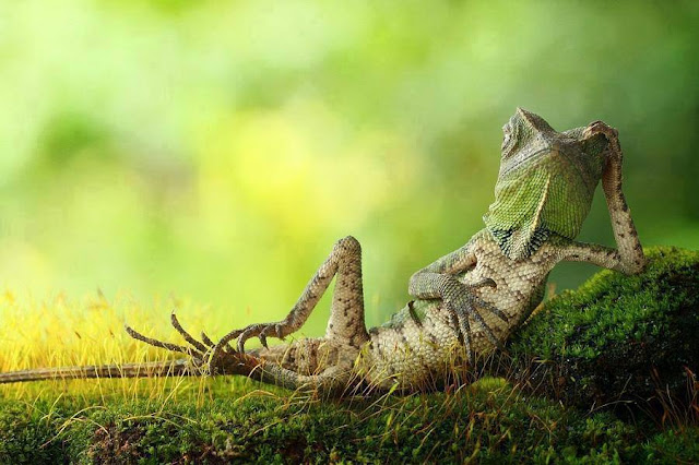 Dragon Lizard Caught Playing Leaf Guitar & lazy things
