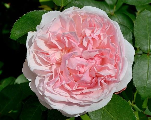 St.Swithun сорт розы фото Остин Минск купить