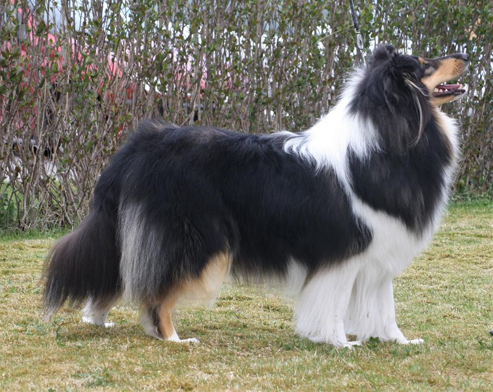 Pitkäkarvainen collie, Leaftribe Melody Within