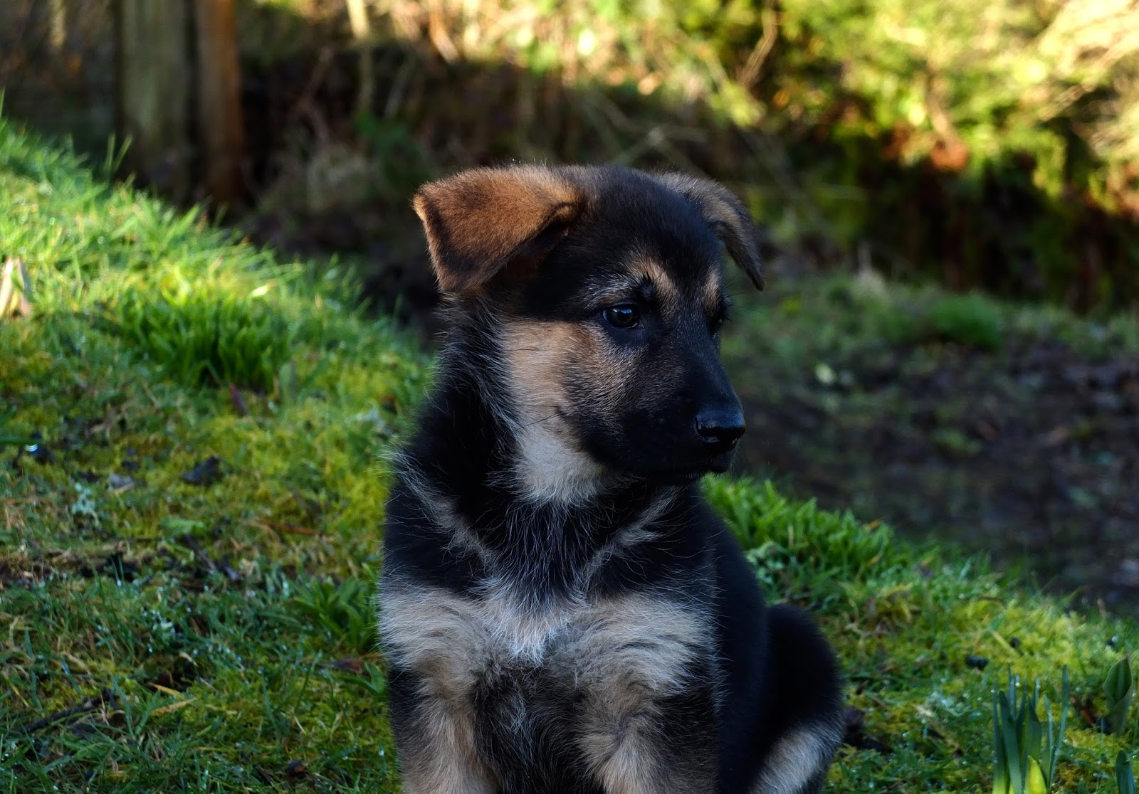 German Shepherd puppy sitting in the grass.