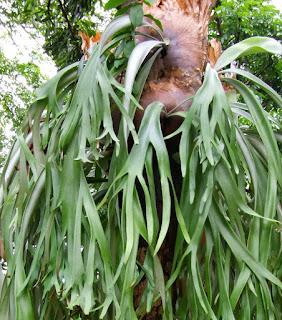 Tanduk Rusa (Platycerium Bifurcatum)