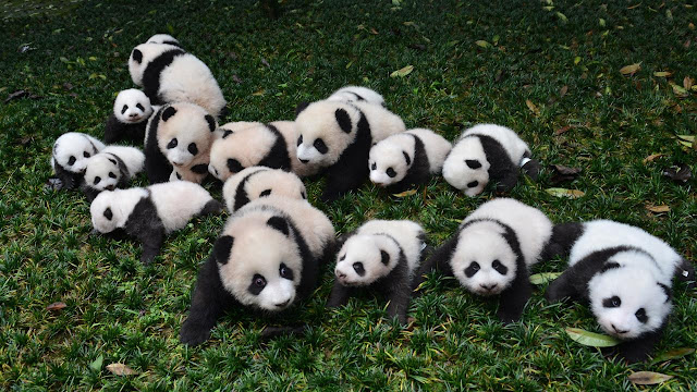 Panda Population increased by Chinese government conservation program