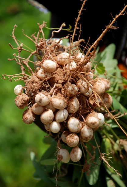 The Bambara Groundnut originated in present day West Africa. According to the national peanut board, the peanut plant probably originated in Peru or Brazil in South America.