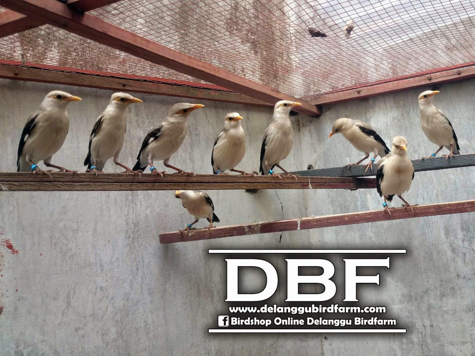 Daftar Harga Burung Jalak Putih Ud Delanggu Birdfarm
