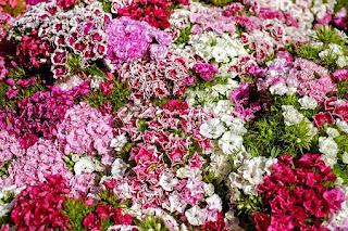 carnations-www.healthnote25.com