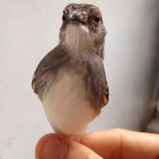 Burung Ciblek- Berak Kapur yang Menyerang Burung Ciblek dan Cara Penangannannya - Penangkaran Burung Ciblek
