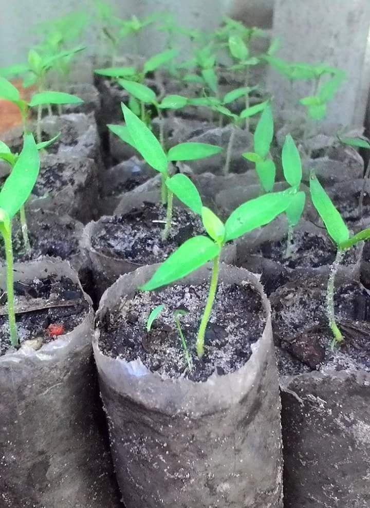Bibit Cabe Ditanam Pada pH Tanah yang Sesuai Akan Tumbuh Bagus
