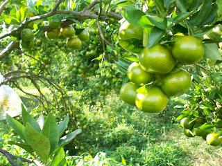 jeruk brastagi
