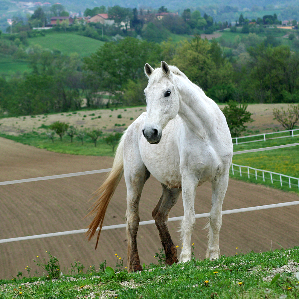 HD Animals Wallpapers: White Horse Backgrounds